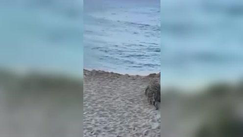 沙滩上蹦出一条鳄鱼 游客惊呼奔逃还不忘拍照