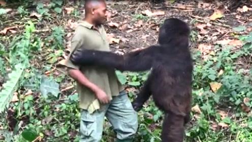 大猩猩抱着饲养员舍不得放开,依依不舍的场面,让人感动!
