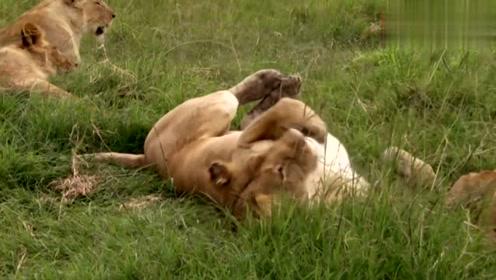 小狮子吃猎物,雄狮护崽驱赶其他同类护在孩子身边,真贴心