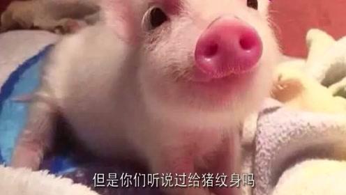 为了艺术,牛人给猪纹身,从小纹到大,死后一块猪皮价值百万