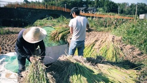 农村小哥田里割水稻,使用一款罕见秘密武器,你小时候一定见过