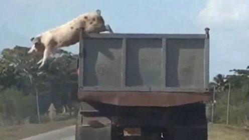 300斤的大肥猪不甘被杀,纵身一跃跳下车,镜头拍下全过程