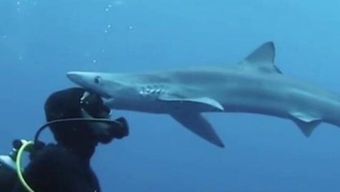 """惊险!潜水员海底探险遇鲨鱼 获其温柔献""""吻"""""""