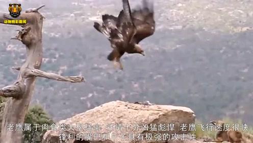 老鹰高空俯冲地面大战狐狸,场面激烈,镜头拍下全过程!