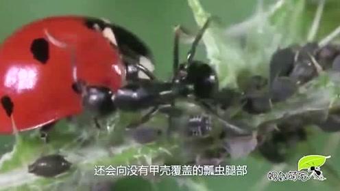 蚜虫养了一帮蚂蚁小弟,发现瓢虫入侵,小弟立马冲上招呼