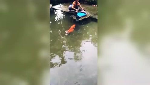 这鱼有灵性,也不怕人类,就这么跃进池子里