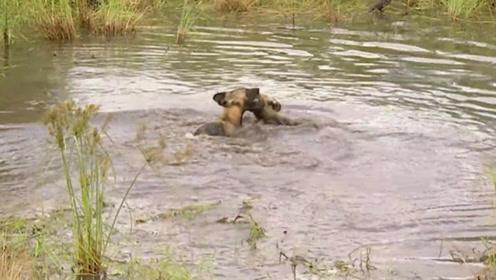 野狗们正在水中玩闹,有一只豹子悄悄走来,野狗们还没发现!