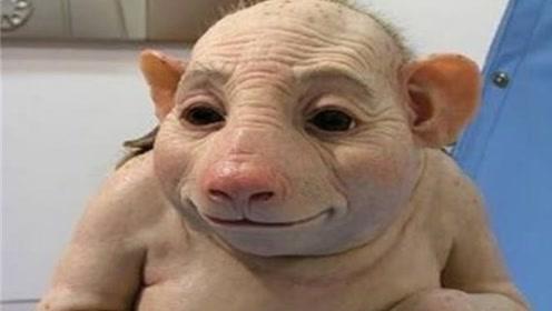 农场母猪消失1个月后,竟怀着孕回来,生出的猪崽让主子不敢相信