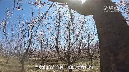 春日酒泉:红杏枝头春意闹
