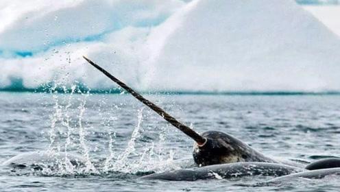 极地灵兽牙齿可以长到3米长,像钻头一样穿过皮肤暴露在嘴外