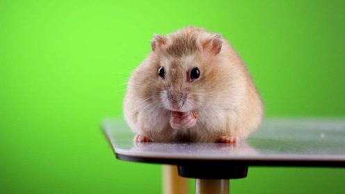 可爱的小仓鼠在主人的陪伴下,悠闲的吃着瓜子!