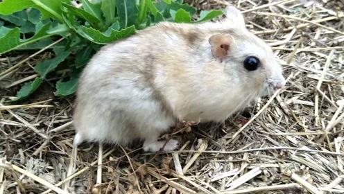 主人带仓鼠去草地上减肥 不想当快乐肥宅了!