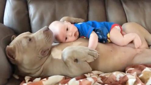刚出生的婴儿抱回家,猛犬是怎么认出这是主人的?猛犬:可不敢咬