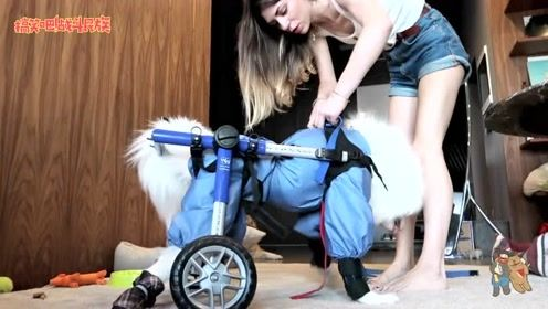 """泪目! 女主人帮残疾""""萨摩耶""""恢复行走,狗狗的反应太感人"""