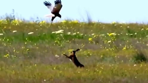 公兔为了保护家人,与老鹰殊死一搏,画面简直太精彩了!