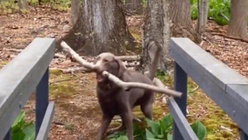 狗狗因为咬树枝过桥而意外走红,网友纷纷表示自己智商还不如它
