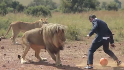 男子把一个足球踢向了3头狮子,下一秒发生的事情太酷了