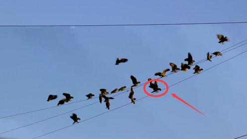 一群鹦鹉在高压线上歇息,殊不知危险已经来临,镜头拍下全过程