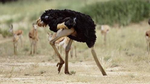 为什么鸵鸟遇到危险,总是会把头埋进地里?看完恍然大悟!