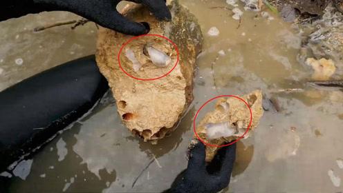 罕见!菲律宾现一新型船虫,它们竟不吃木头而专吃石头