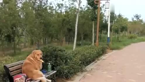 金毛皮蛋在公园遛弯一见小母狗就走不动路,最后却认错狗,尴尬!