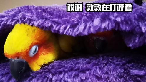 偷拍睡觉的鹦鹉,鹦鹉睡觉还会打呼噜,真的是闻所未闻哪