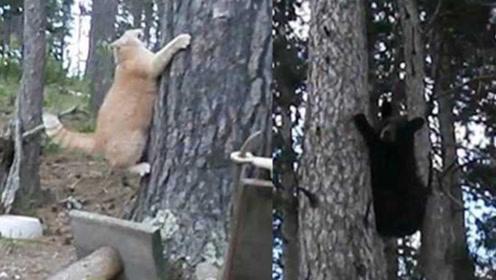 家猫遇到黑熊 一个动作黑熊被吓得秒速蹿到六米高树上