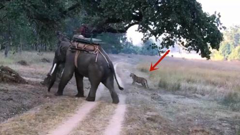 男子骑在大象背上,路中遇见老虎袭击,镜头拍下全过程