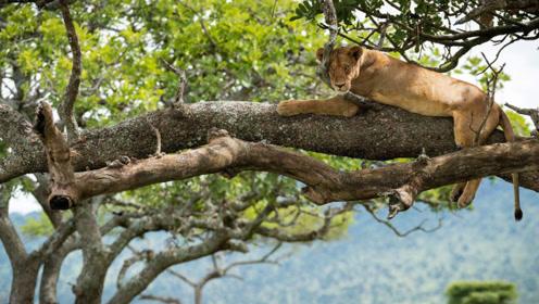 狮子也会爬树?猴子受到惊吓,最终结局如何呢