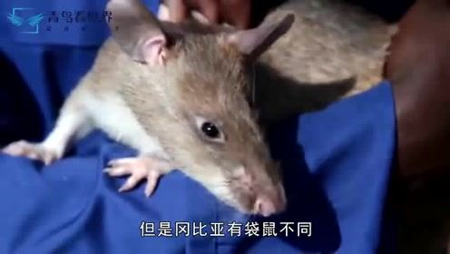 """世界上最受欢迎的老鼠,每年拯救上千条人命,被誉为""""英雄鼠"""""""