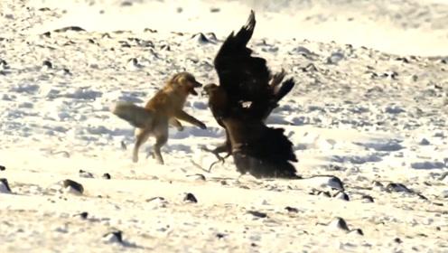 老鹰捕食狐狸,狐狸一招吓坏老鹰,镜头拍下搞笑一幕!