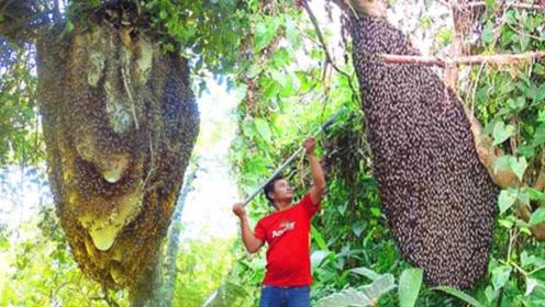小伙在山上找到一座蜂巢,好奇打开一看,才发现自己运气太好了