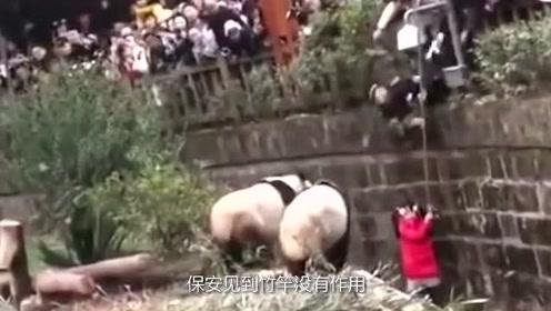 女孩掉入熊猫地盘,引来熊猫围观,幸好保安动作快,网友:太惊险