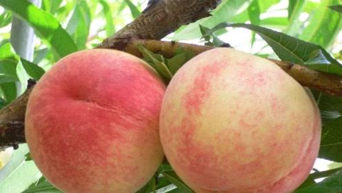 农村桃子丰收忙不过来,可把附近村民高兴坏了,原因是什么?