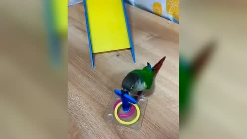 这个网红小鹦鹉的精彩剪辑,没有一技之长真是鸟生艰难啊