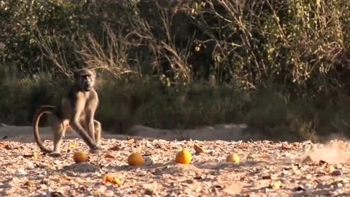 把假蛇绑在橘子上,故意送给狒狒吃,狒狒什么反应?