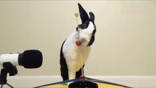 兔子做吃播,葡萄又脆又多汁,听声音真馋人