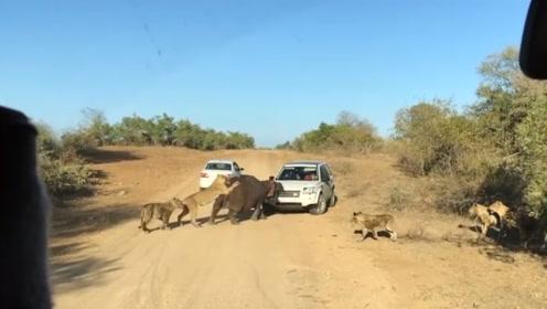 狮子捕猎河马,吃痛的河马咬住汽车,仿佛想要抓住救命稻草