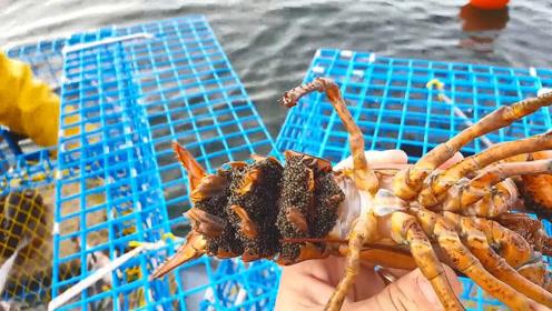 龙虾捕捞,一笼子龙虾只选几条,其他通通丢回海里!
