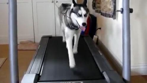 二哈的跑步速度能有多快?老外放在跑步机上测试,画面太搞笑