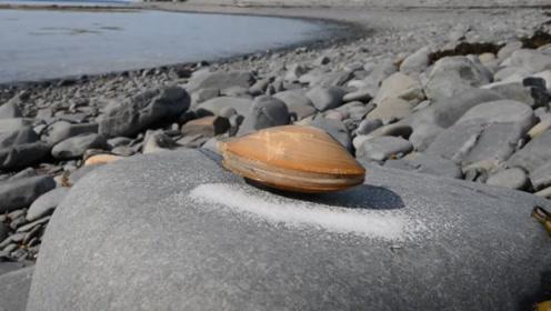 鲜活的蛤蜊,只要在它周围撒点盐,立马伸出舌头来舔?