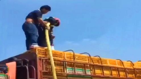江苏一高速路口5000只鸡中暑,万能消防员用水枪给鸡洗澡降温