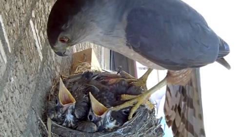 小鸟以为妈妈回来喂食,期待的张开了嘴巴,没想到却是悲剧的开始