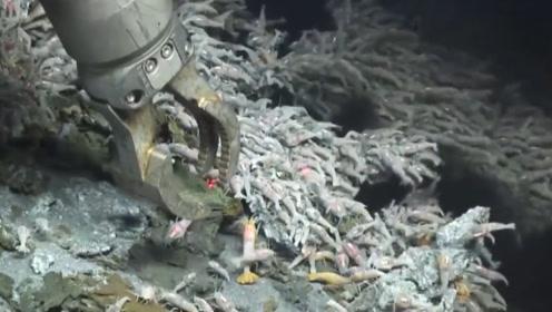 海底火山口发现神秘虾,周围温度高达400℃,这根本煮不熟啊!