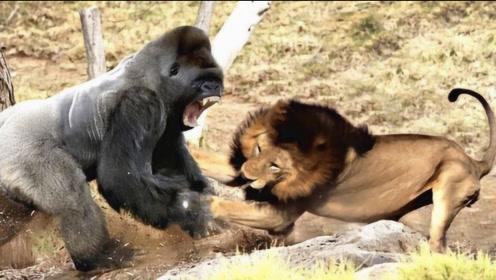 """狮子和银背大猩猩决战,却惨遭""""爆锤"""",下一秒瞬间傻眼!"""