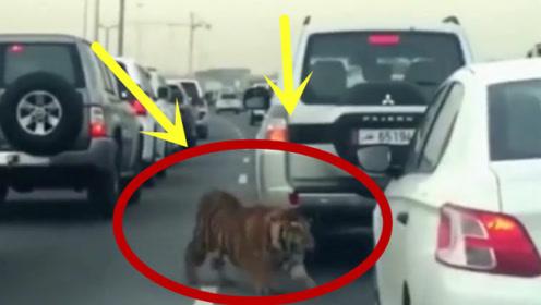 高速路上突遇大老虎!老司机也得认怂,惹不起啊!