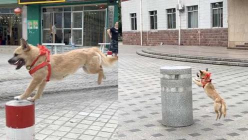 """2岁狗子练就一身绝活成网红,跳桩堪比""""马里奥"""""""