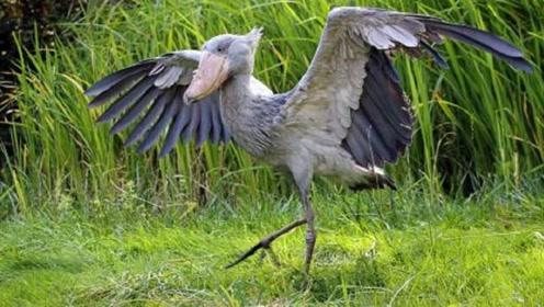 鳄鱼最怕的天敌,竟是世界上头最大的鸟,而且看见人类就鞠躬