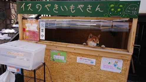 """日本""""柴犬红薯店""""风靡全国,无数游人慕名而去,找钱成了大难题"""