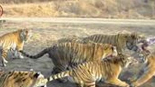 聪明绝顶的老虎,接连吃掉436人,追杀十年后才发现吃人真相